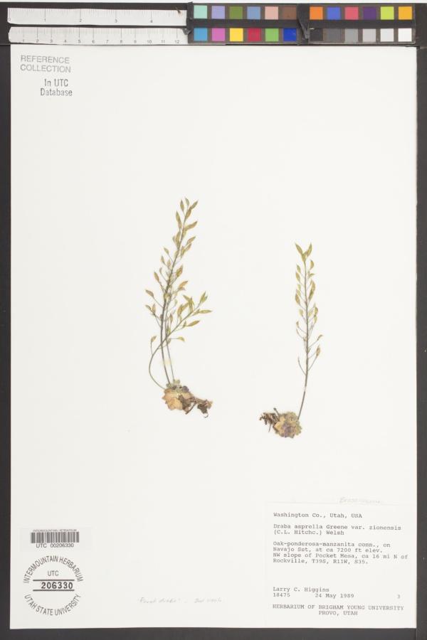 Draba asprella var. zionensis image