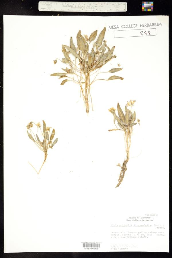 Viola praemorsa subsp. linguifolia image