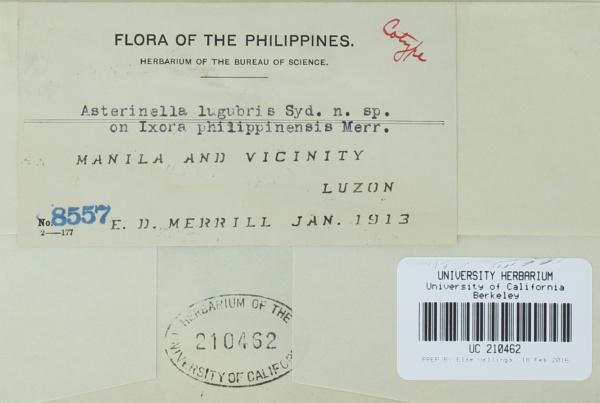 Asterinella lugubris image