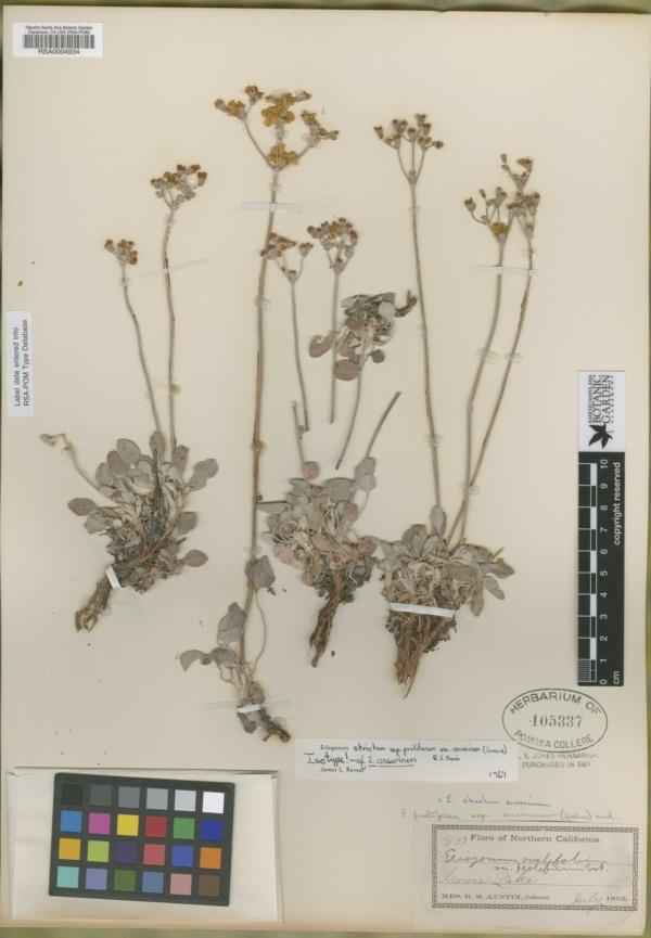 Eriogonum anserinum image