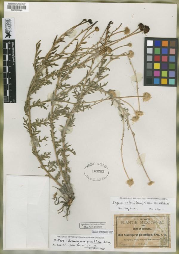 Achaetogeron pinnatifidus image