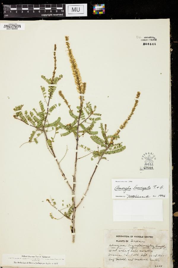 Amorpha laevigata image