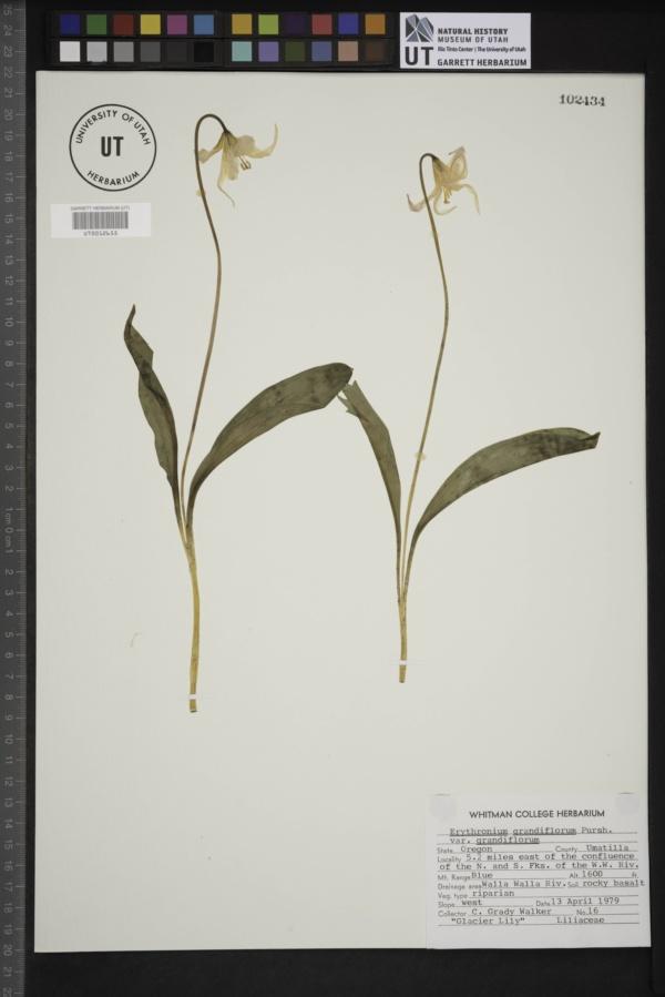 Erythronium grandiflorum var. grandiflorum image