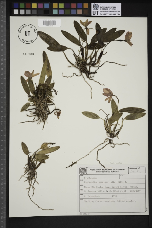 Cattleya coccinea image