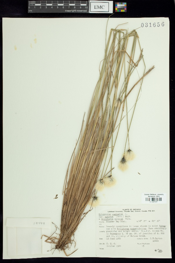 Eriophorum vaginatum var. spissum image