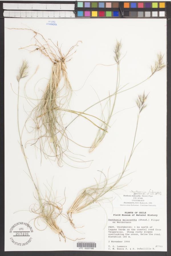 Danthonia chilensis image