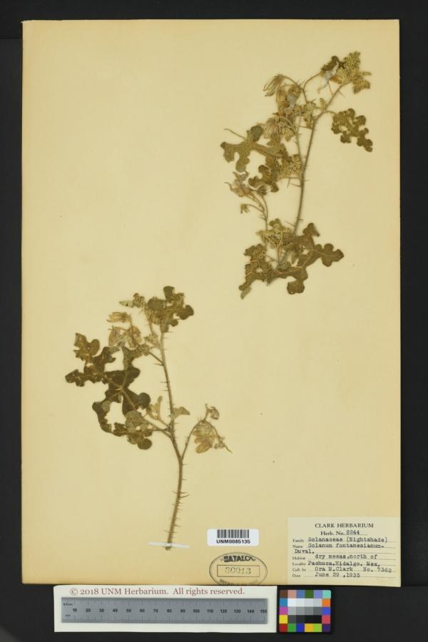 Solanum fontanesianum image