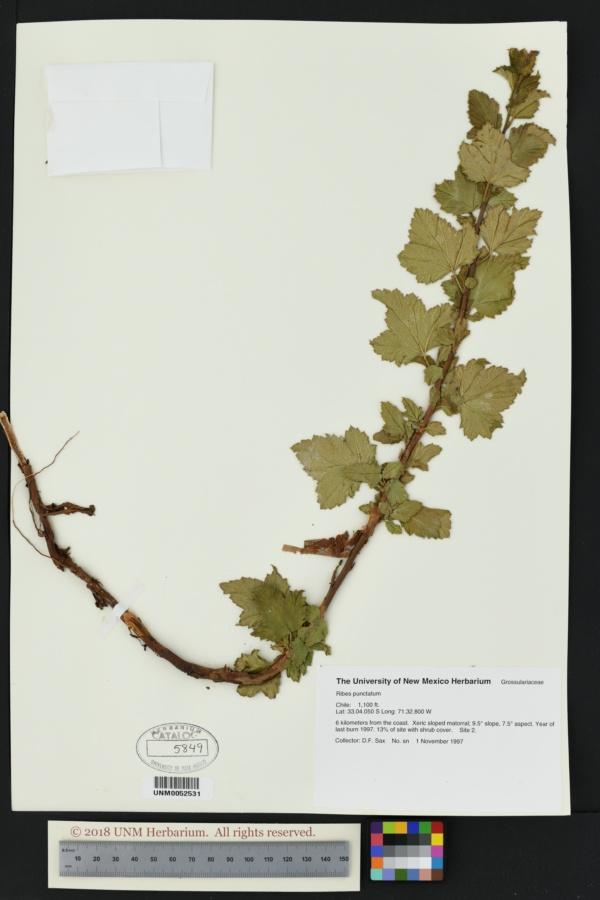 Ribes punctatum image