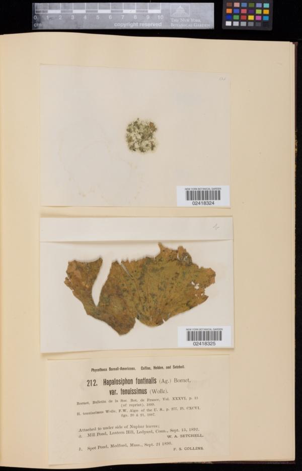 Hapalosiphon fontinalis image