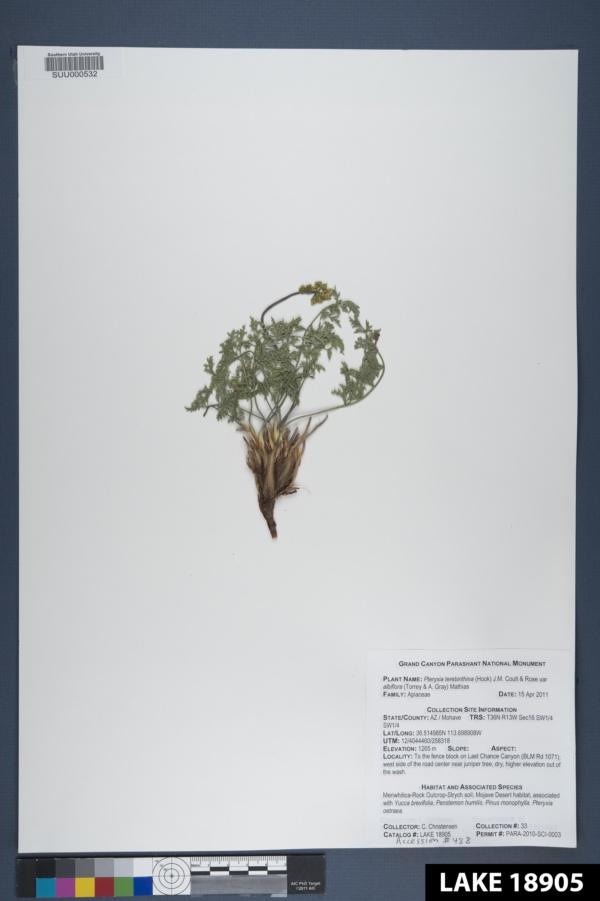 Pteryxia terebinthina var. albiflora image