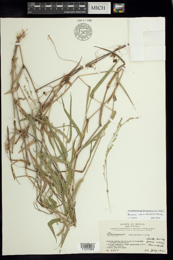 Paniceae image