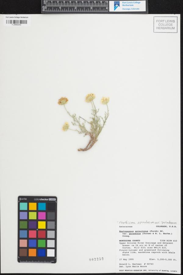 Xanthisma spinulosum var. paradoxum image