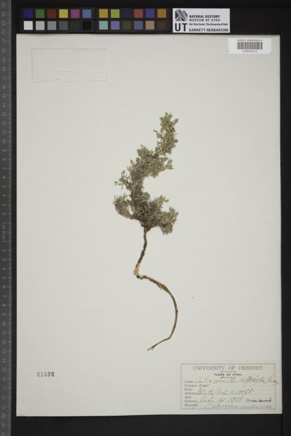Astragalus viridis image