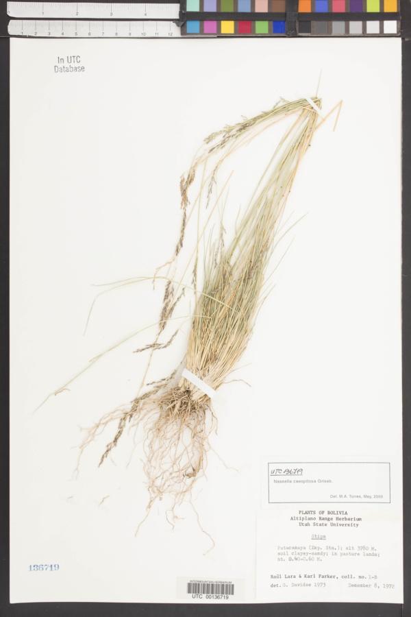Nassella caespitosa image