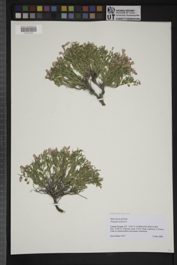 Nylandtia spinosa image