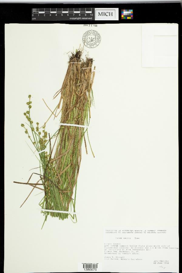 Carex seorsa image