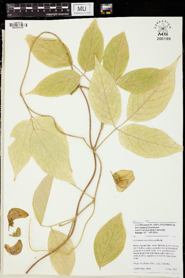Centrosema macrocarpum image