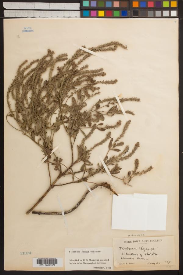 Verbena x deamii image