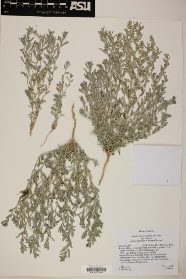 Atriplex elegans subsp. elegans image