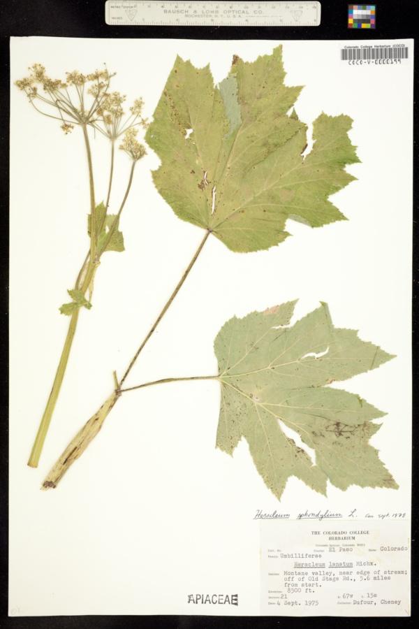 Heracleum sphondylium image