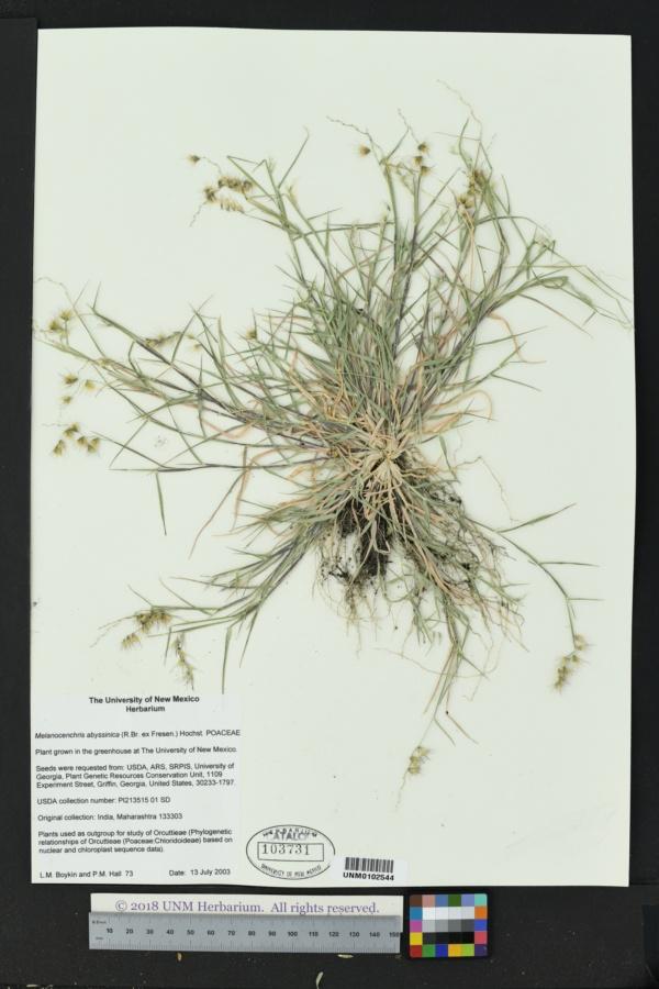 Melanocenchris abyssinica image