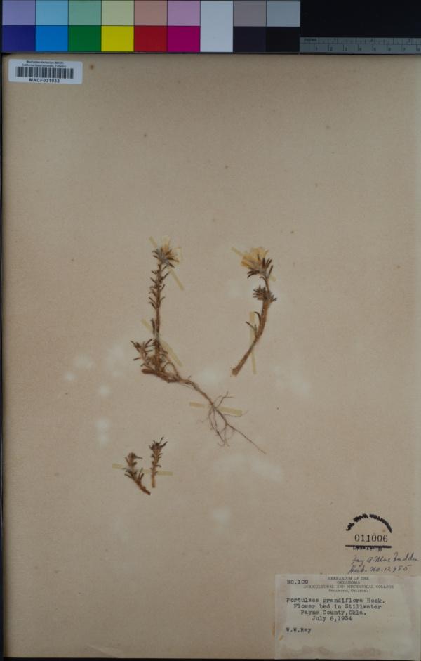 Portulaca grandiflora image