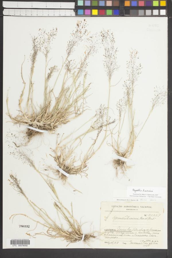 Agrostis delicatula image