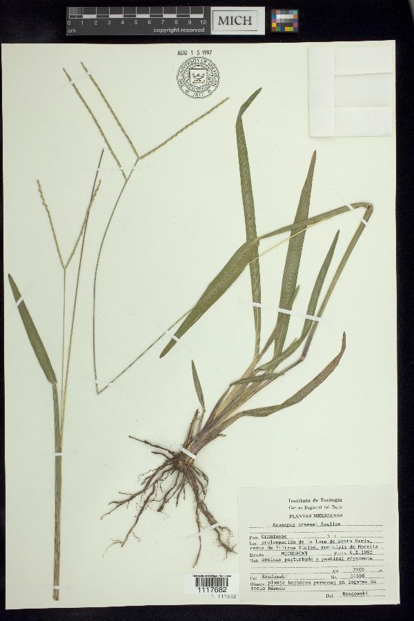 Axonopus arsenei image
