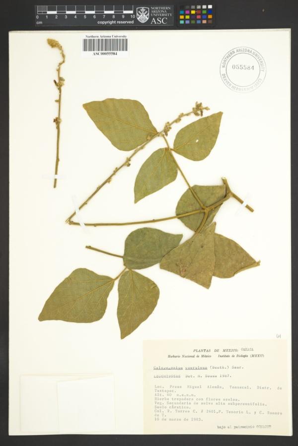 Calopogonium coeruleum image