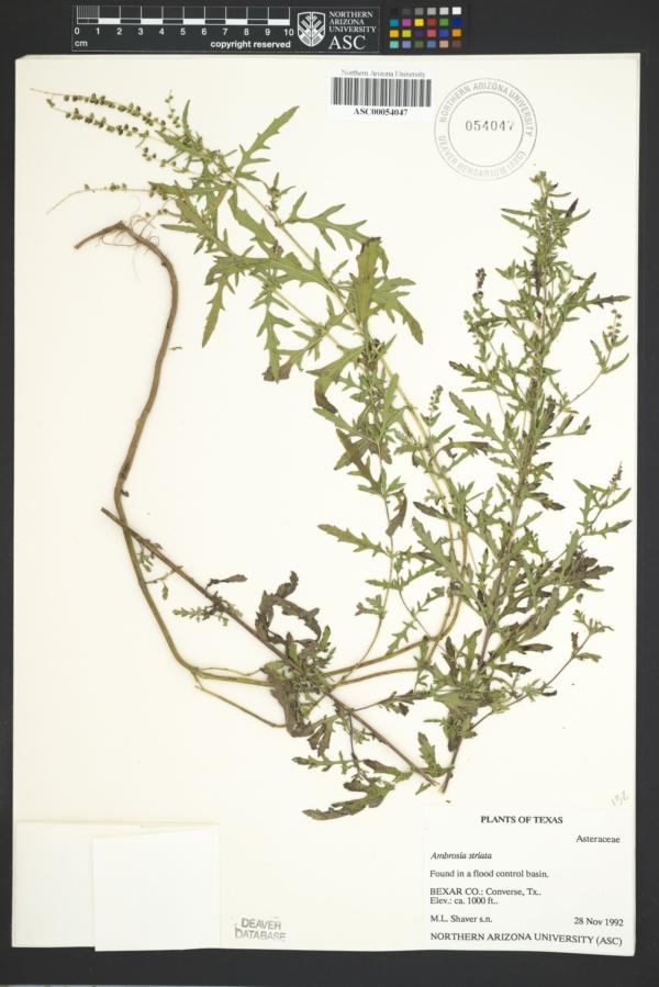 Ambrosia striata image