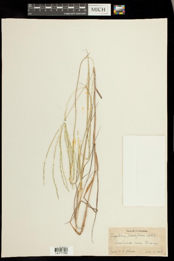 Digitaria pauciflora image