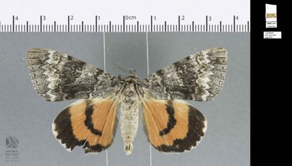 Catocala grotiana image