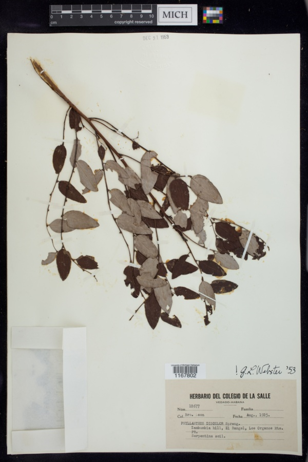 Phyllanthus discolor image