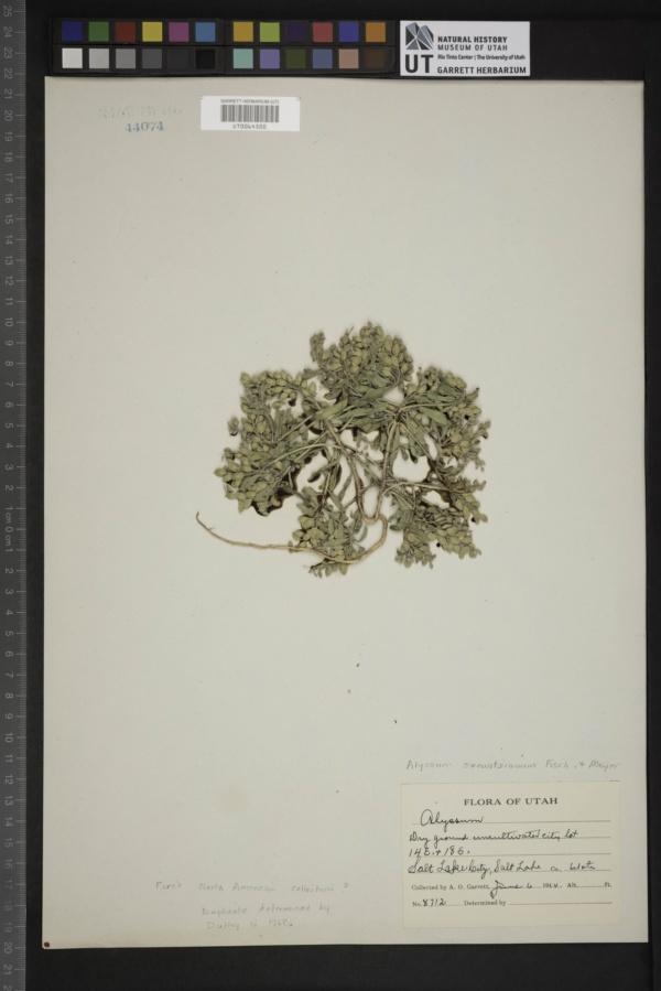 Alyssum szowitsianum image