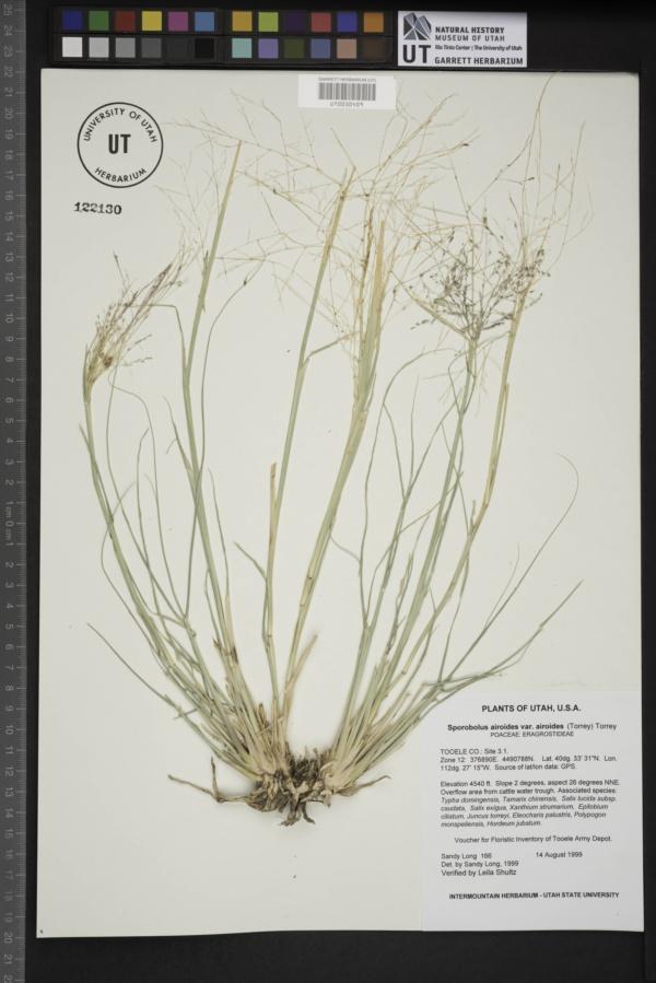 Sporobolus airoides var. airoides image