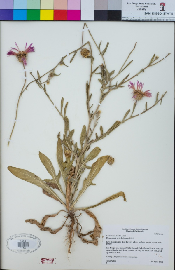 Centaurea diluta image