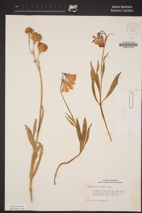 Fritillaria striata image