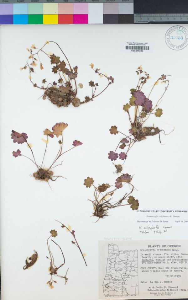 Romanzoffia californica image