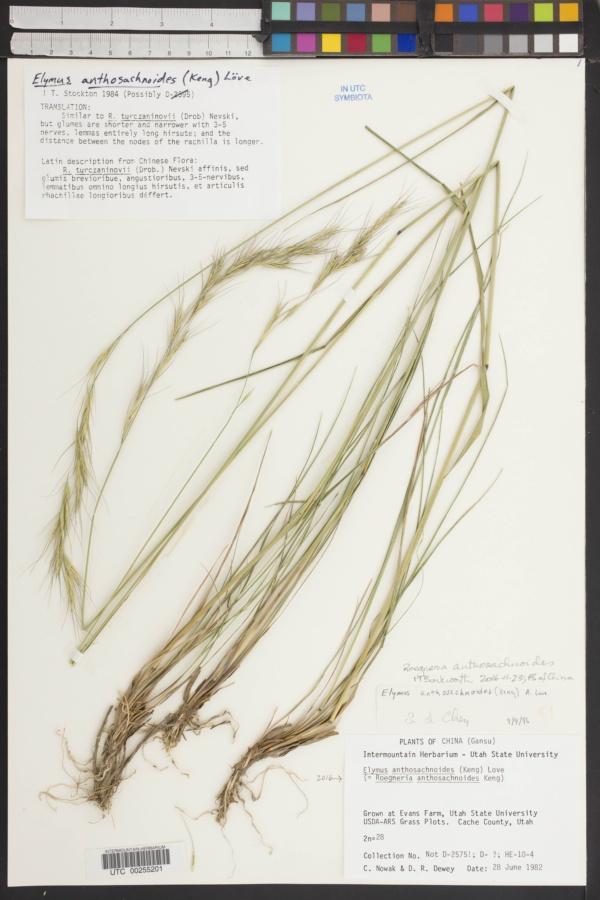 Elymus anthosachnoides image