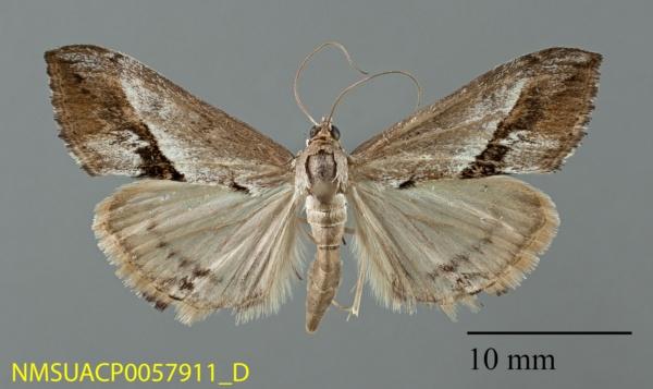 Evergestis obliqualis image