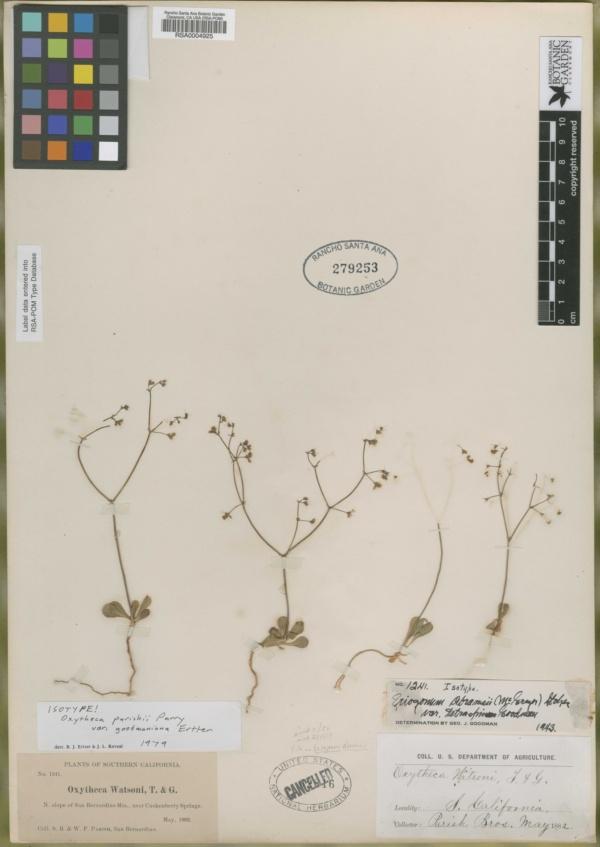 Eriogonum abramsii image