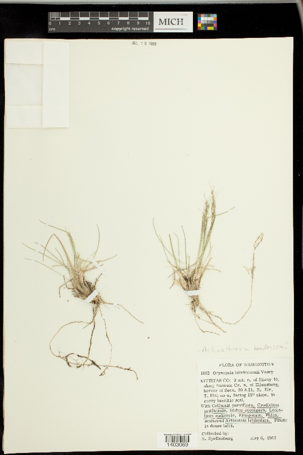 Achnatherum hendersonii image