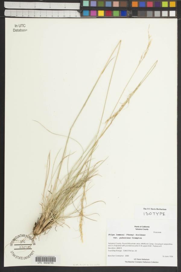 Achnatherum lemmonii subsp. pubescens image