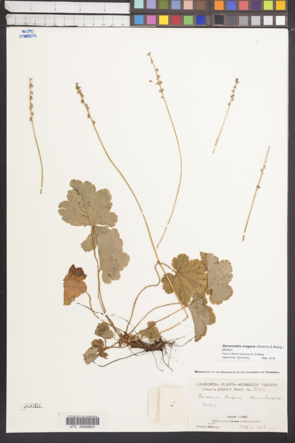 Bensoniella oregana image