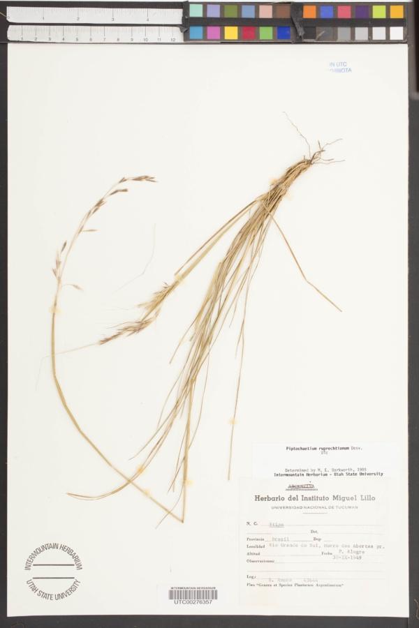 Piptochaetium ruprechtianum image