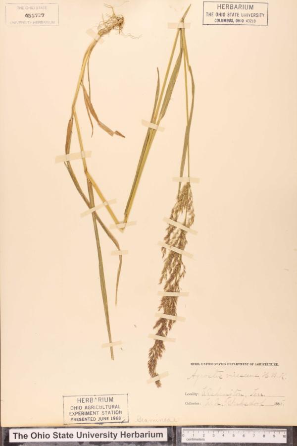 Agrostis virescens image