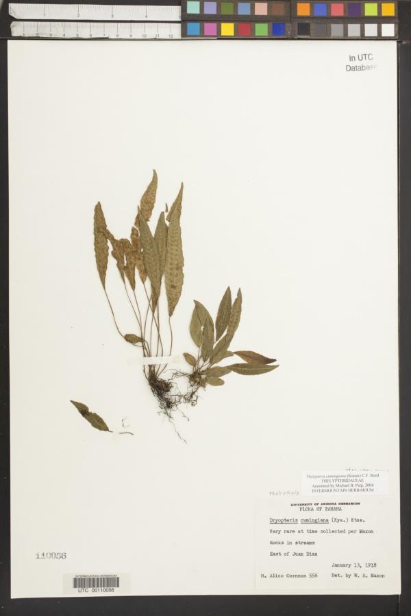 Thelypteris cumingiana image
