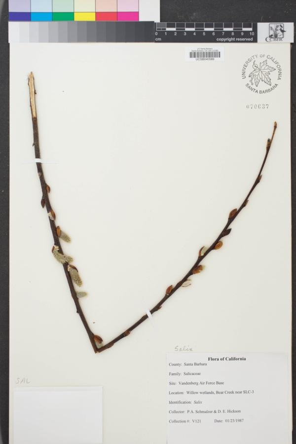 Salix image