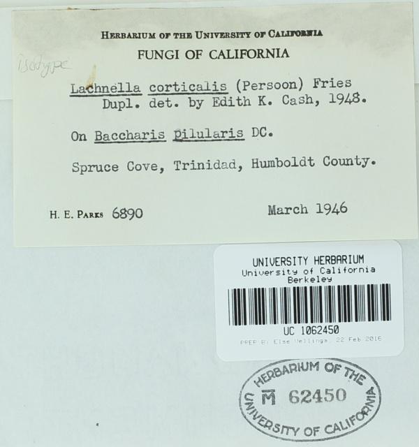 Lasiobelonium parksii image