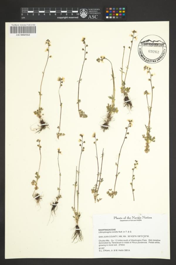 Lithophragma tenella image